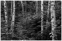 Birch trees in summer. Voyageurs National Park ( black and white)