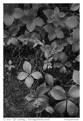 Close-up of red berries and leaves. Voyageurs National Park (black and white)