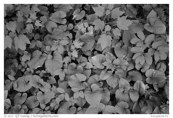 Close up of green undergrowth leaves. Voyageurs National Park (black and white)