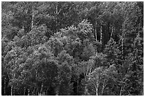 Birch grove on hillside. Voyageurs National Park ( black and white)
