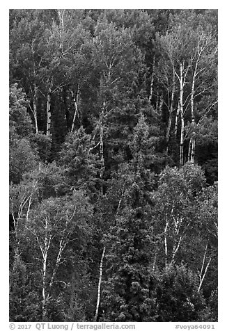 Birch trees in the summer. Voyageurs National Park (black and white)