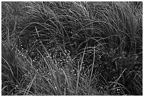 Tall grasses and wildflowers. Voyageurs National Park ( black and white)