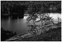 Two pine trees above Anderson Bay. Voyageurs National Park ( black and white)