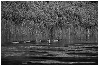 Ducks, Big Island. Voyageurs National Park ( black and white)