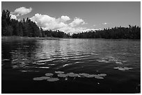 Water lilly in bloom, Big Island. Voyageurs National Park ( black and white)