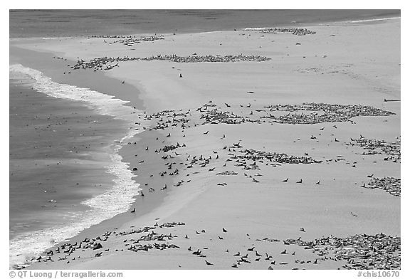 Sea lions and seals on  beach, Point Bennett, San Miguel Island. Channel Islands National Park (black and white)
