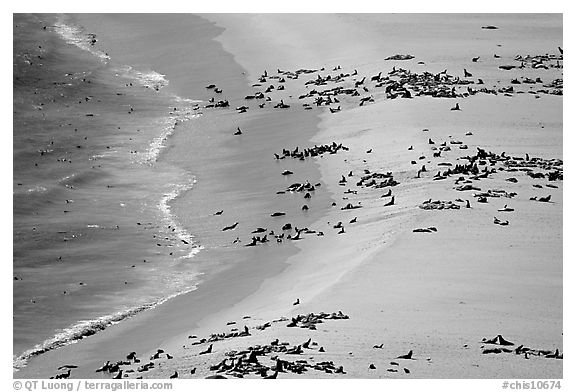 Seals and sea lions hauled out on  beach, San Miguel Island. Channel Islands National Park (black and white)
