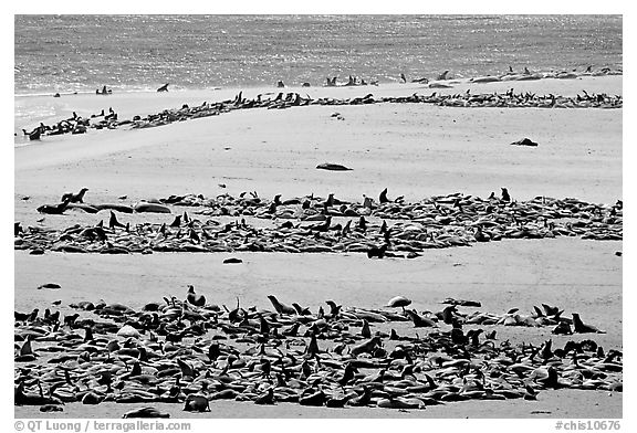 California sea lions and northern fur seals on  beach, Point Bennet, San Miguel Island. Channel Islands National Park (black and white)