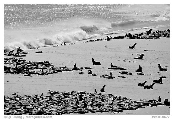 Sea lions and seals hauled out on beach, Point Bennett, San Miguel Island. Channel Islands National Park (black and white)