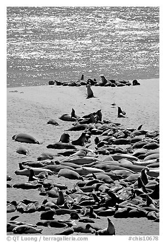 Northern fur Seal and California sea lion rookery, Point Bennet, San Miguel Island. Channel Islands National Park (black and white)