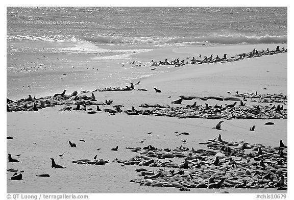 Beach with a large number of sea lions and seals, Point Bennett, San Miguel Island. Channel Islands National Park (black and white)