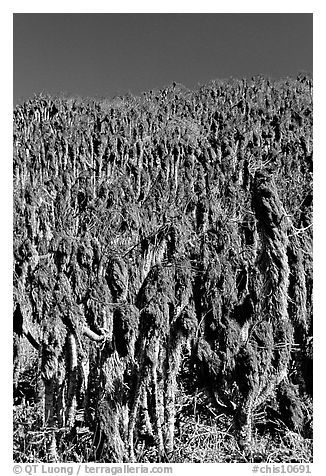 Hillside with giant coreopsis stumps, San Miguel Island. Channel Islands National Park (black and white)