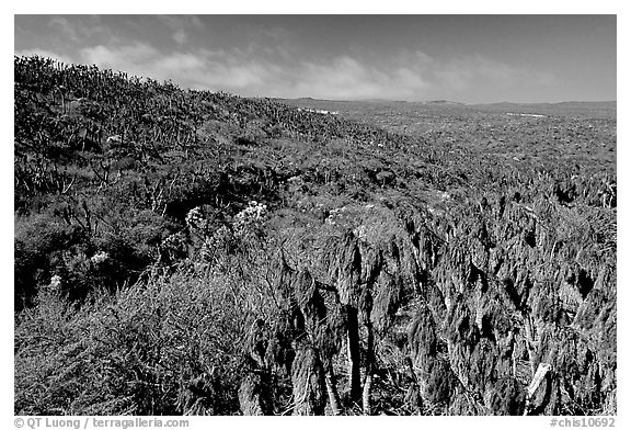Giant Coreopsis stumps , San Miguel Island. Channel Islands National Park (black and white)