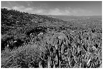 Giant Coreopsis stumps , San Miguel Island. Channel Islands National Park, California, USA. (black and white)