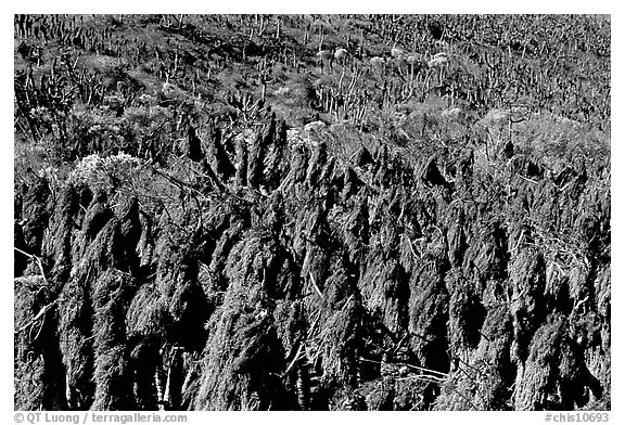 Dried giant coreopsis, San Miguel Island. Channel Islands National Park (black and white)