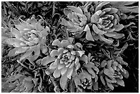 Live Forever (Dudleya) plants, San Miguel Island. Channel Islands National Park ( black and white)