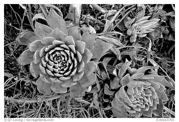 Stonecrop plants (Dudleya), San Miguel Island. Channel Islands National Park (black and white)