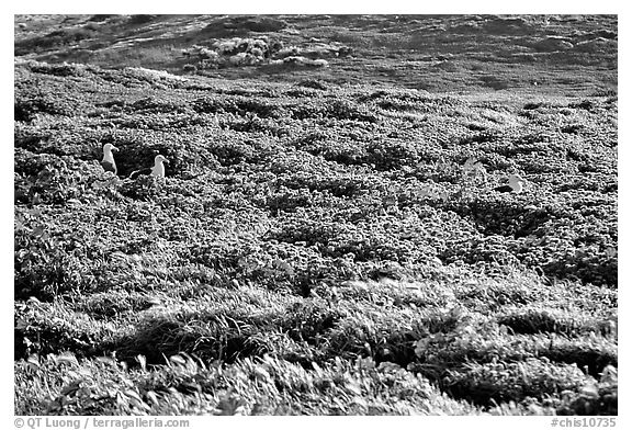 Seagulls and spring wildflowers, East Anacapa Island. Channel Islands National Park (black and white)