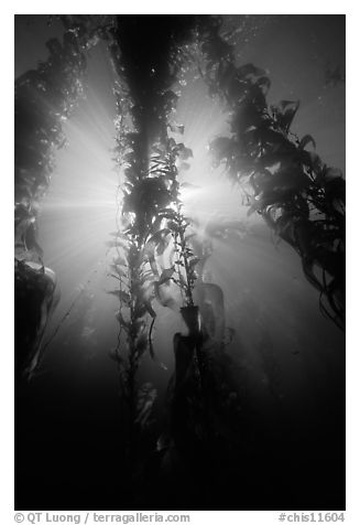 Giant Kelp and sunbeams underwater, Annacapa Marine reserve. Channel Islands National Park (black and white)