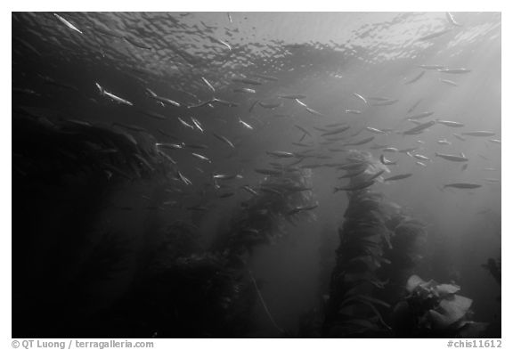Jack mackerel school of fish in kelp forest. Channel Islands National Park (black and white)