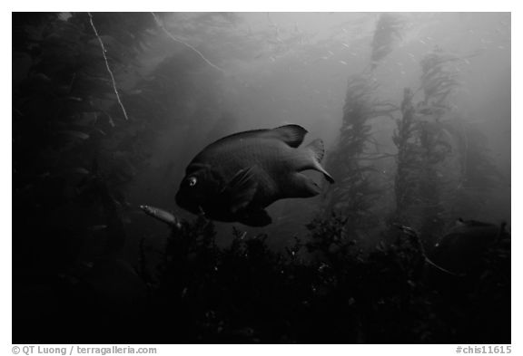 Garibaldi fish in kelp forest, Annacapa Marine reserve. Channel Islands National Park (black and white)