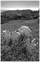 Giant Coreopsis and ice plant. Channel Islands National Park, California, USA. (black and white)