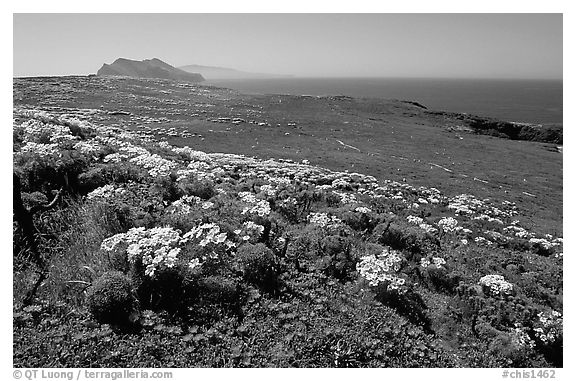 Giant Coreopsis, wildflowers, and Anacapa islands. Channel Islands National Park (black and white)