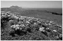 Giant Coreopsis, wildflowers, and Anacapa islands. Channel Islands National Park, California, USA. (black and white)