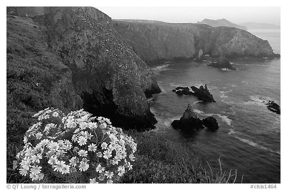 Coreopsis and Cathedral Cove, Anacapa. Channel Islands National Park (black and white)
