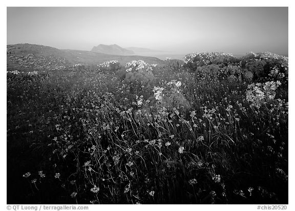 Spring wildflowers and mist, early morning, Anacapa Island. Channel Islands National Park (black and white)