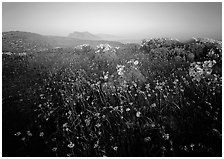 Spring wildflowers and mist, early morning, Anacapa Island. Channel Islands National Park, California, USA. (black and white)