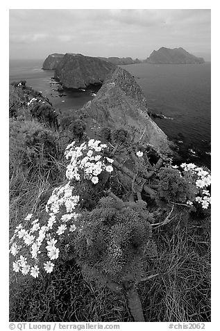Coreopsis in bloom near Inspiration Point, morning, Anacapa. Channel Islands National Park (black and white)