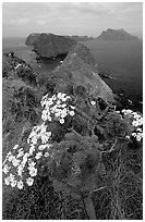 Coreopsis in bloom near Inspiration Point, morning, Anacapa. Channel Islands National Park, California, USA. (black and white)