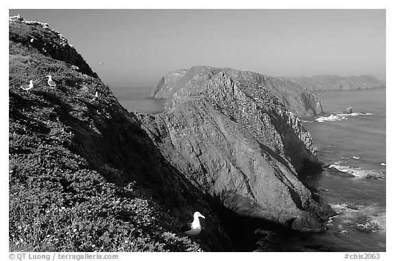 Western seagulls near Inspiration Point, morning, Anacapa. Channel Islands National Park (black and white)