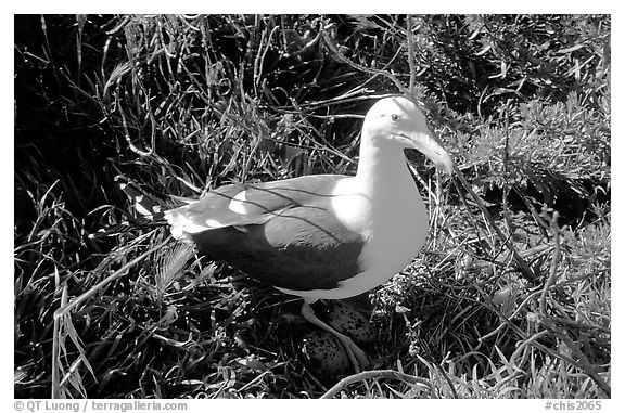Western seagull. Channel Islands National Park (black and white)