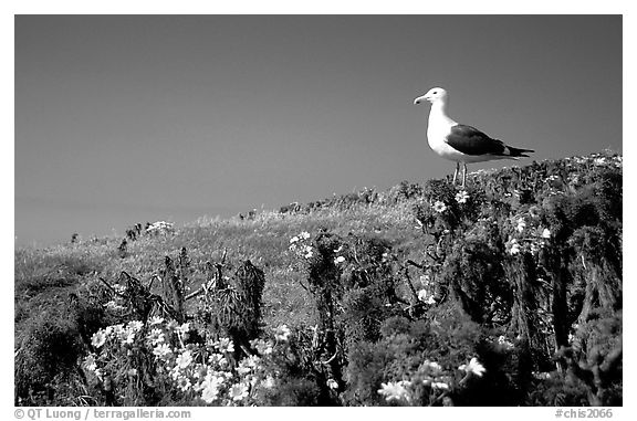 Western seagull on giant coreopsis. Channel Islands National Park (black and white)
