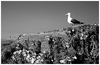 Western seagull on giant coreopsis. Channel Islands National Park, California, USA. (black and white)