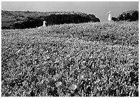 Western seagus and ice plants. Channel Islands National Park, California, USA. (black and white)
