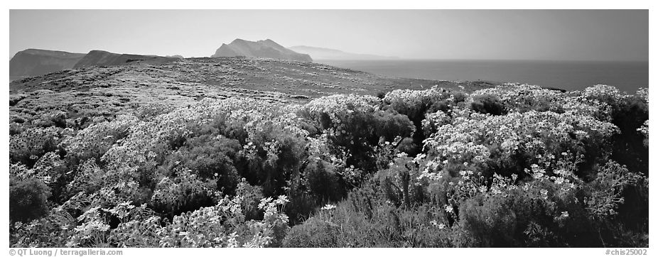 Field of Coreopsis in bloom, Anacapa Island. Channel Islands National Park (black and white)