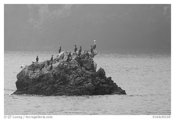Rock covered with cormorants and pelicans, Santa Cruz Island. Channel Islands National Park (black and white)
