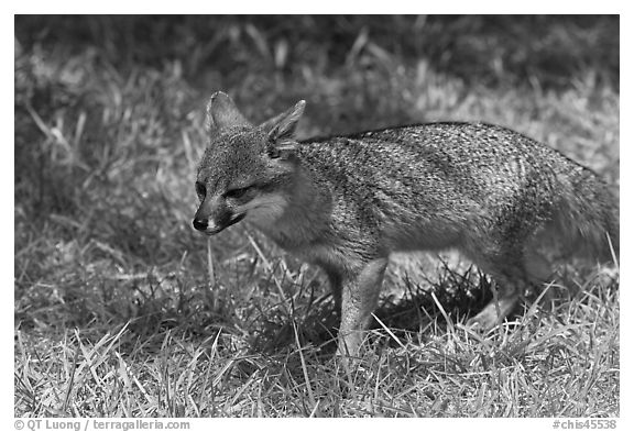 Short-Tailed Fox (Insular Gray Fox), Santa Cruz Island. Channel Islands National Park (black and white)