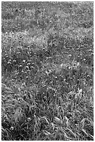Wildflowers and grasses, Santa Cruz Island. Channel Islands National Park ( black and white)