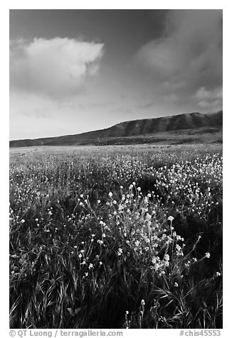 Flowers and hills near Potato Harbor, late afternoon, Santa Cruz Island. Channel Islands National Park (black and white)