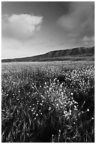 Flowers and hills near Potato Harbor, late afternoon, Santa Cruz Island. Channel Islands National Park ( black and white)