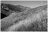 Mustard, grasses, and hills, Santa Cruz Island. Channel Islands National Park ( black and white)