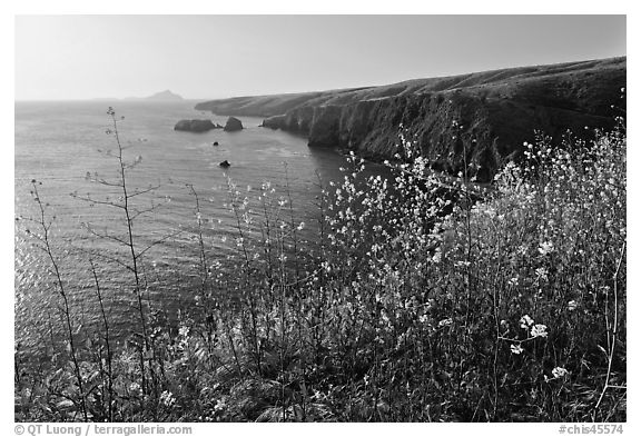 Mustard in bloom and seacliffs, Scorpion Anchorage, Santa Cruz Island. Channel Islands National Park (black and white)