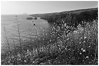 Mustard in bloom and seacliffs, Scorpion Anchorage, Santa Cruz Island. Channel Islands National Park, California, USA. (black and white)