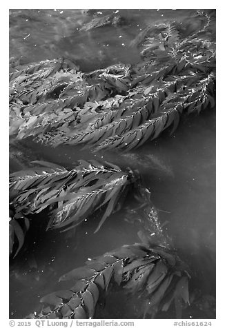 Kelp from above, Santa Cruz Island. Channel Islands National Park (black and white)