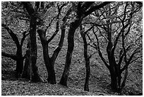 Cloud forest of endemic Island Oak, Santa Rosa Island. Channel Islands National Park ( black and white)