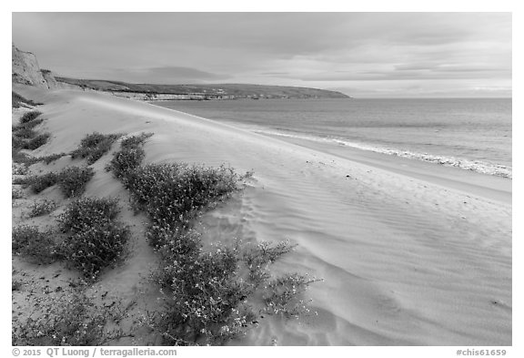 Flowers and dunes, Water Canyon Beach, Santa Rosa Island. Channel Islands National Park (black and white)
